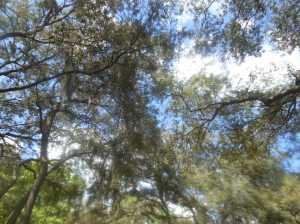 Live Oak Tree Pollen 001