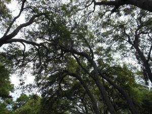 Spring Oak Tree Pollen 002